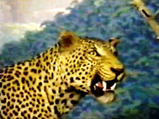 South Africa-African leopard
